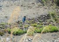 カワセミ・ヒヨドリ・ムクドリ、浅川一番橋付近 - 西多摩探鳥散歩