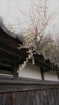 白い梅の花 - 鹿深の森