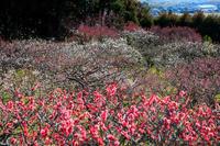 正法寺の梅景色 - 花景色-K.W.C. PhotoBlog