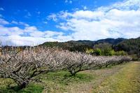 満開の青谷梅林 - 花景色-K.W.C. PhotoBlog