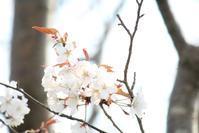 きょうの桜 3月19日 - 出不精日記