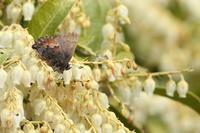 コツバメ登場、ミヤマセセリ交尾、ムラサキシジミの口吻形状など(埼玉県、20170318) - Butterfly & Dragonfly
