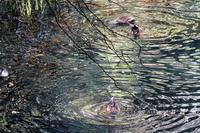 カルガモが逆立ちで波紋が・・・、他 - ぶらり散歩 ~四季折々フォト日記~