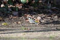 写真を撮りに行くと出会える野鳥 シジュウカラ  - 平凡な日々の中で