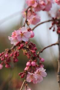 ご近所お寺さんの枝垂桜、2~3分咲き 1 - Let's Enjoy Everyday!