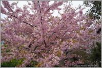河津桜並木と菜の花道 - 野鳥の素顔 <野鳥と・・・他、日々の出来事>
