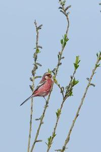 湿原のベニマシコ(2) - 彩の国 夢見人のフォト日記