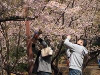 桜の花の下で  - エンジェルの画日記・音楽の散歩道