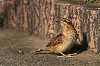 アリスイの舌 - 野鳥公園