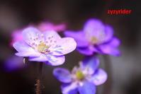 ド派手に撮ったミスミソウ - ジージーライダーの自然彩彩