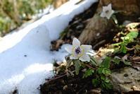 雪解けのセツブンソウ - 四季、自然にふれる