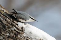 冬の道東 ゴジュウカラ - 比企丘陵の自然