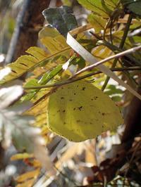 キタキチョウは、まだ越冬中 - 秩父の蝶