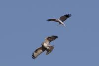 ハイイロチュウヒの(バトル) - 私の鳥撮り散歩