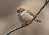 モズ 小さな猛禽の視線(メス) - 気まぐれ野鳥写真
