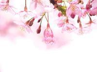 河津桜 - 瞳の記憶