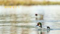 ヨシガモ - 北の野鳥たち