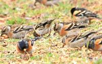 アトリ - barbersanの野鳥観察