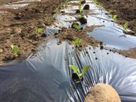 キャベツ植えました - 畑が伝えてくれること