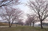 北浅羽の安行寒桜 1 - photograph3