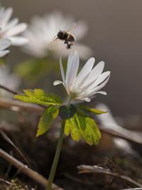 アズマイチゲとミツバチ - この道は風なり