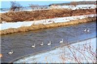 馬追運河の白鳥 - 北海道photo一撮り旅