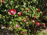 服部緑地都市緑化植物園の椿(前編) - 彩の気まぐれ写真