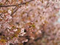 早咲桜 - azukki的.
