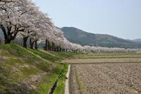 遠野の桜 - 情報開発研究会_東北プロジェクト
