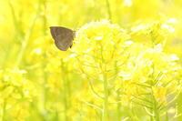 ナノハナで吸蜜するムラサキシジミなど(千葉県松戸市、20170320) - Butterfly & Dragonfly