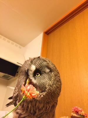 花泥棒 - カラフトフクロウ成長日記