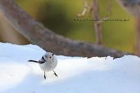 雪の上に ちょこ シマエナガ だるまさん - イチガンの花道