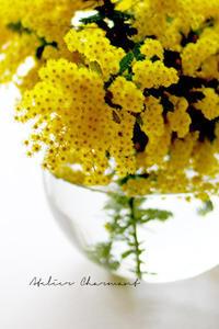 ミモザの花は… - Atelier Charmant のボタニカル・水彩画ライフ