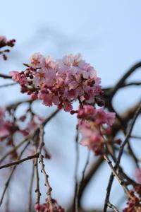 ご近所お寺さんの枝垂桜、2~3分咲き 2 - Let's Enjoy Everyday!