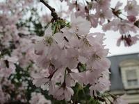 春分の日の桜 - フランス Bons vivants idees d'aujourd'hui