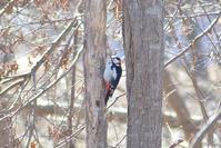 はじめてのアカゲラ - Bird-Watching Journal