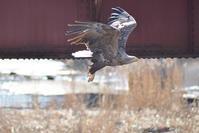 オジロワシなど - Bird-Watching Journal