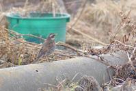 高砂町散策 / アトリなど - Bird-Watching Journal