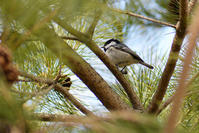 中島公園 / ヒガラなど - Bird-Watching Journal