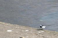 鷲別川 / ハクセキレイなど - Bird-Watching Journal