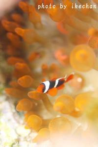 「思いをはせながら」 ~ハマクマノミ幼魚~ - 池ちゃんのマリンフォト