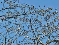 六国見山のシンボルツリーの夫婦桜が開花(3・20) - 北鎌倉湧水ネットワーク