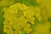 フラワーポットの菜の花が満開 - 玉家の生存報告