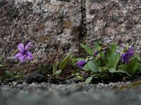 久しぶりの野草花はスミレから - M2_pictlog