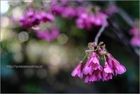台湾桜 - りゅう太のあしあと
