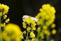菜の花とイシガケチョウ Byヒナ - 仲良し夫婦DE生き物ブログ