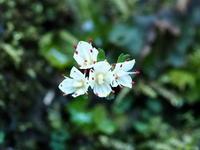 日影沢のハナネコノメ - コーヒー党の野鳥と自然 パート2