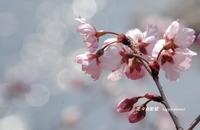 早咲桜・・・ - 花々の記憶