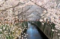 【本日の新聞掲載・桜新コース】ウェザーニュース社情報では東京の桜開花は3月25日 - 日帰りツアー・社会見学・東京観光・体験イベン