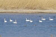 白鳥の飛行練習 - 季節の風を追いかけて